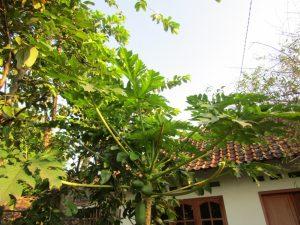 Pohon Pepaya di Halaman Rumah (Dokumentasi Pribadi)