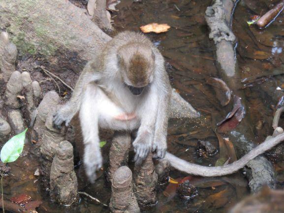 Mangrove Habitat Kera Ekor Panjang (Dokumentasi Pribadi)